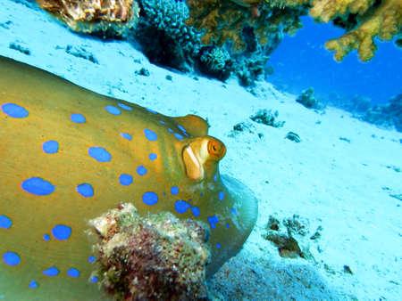stingrays: Blue spotted stingrays, Safaga Egypt,