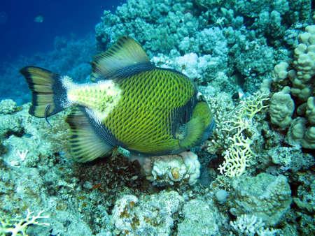 balistoides: Giant Drckerfisch, Safaga Egypt,