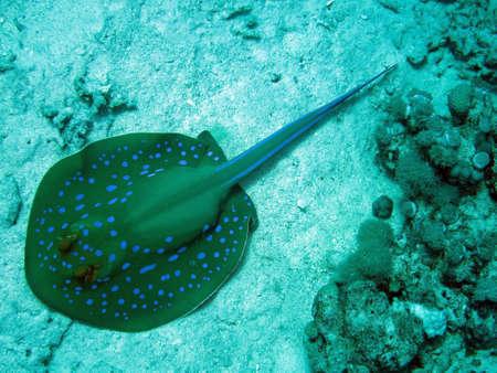 lymma: Blue spotted stingrays, Safaga Egypt,