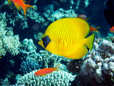 butterflyfish: Masked Butterflyfish, Safaga Egypt,