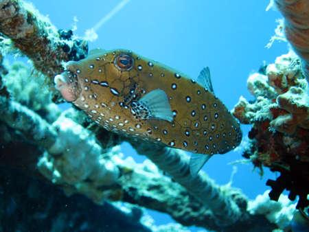 boxfish: Yellow boxfish, Safaga Egypt,