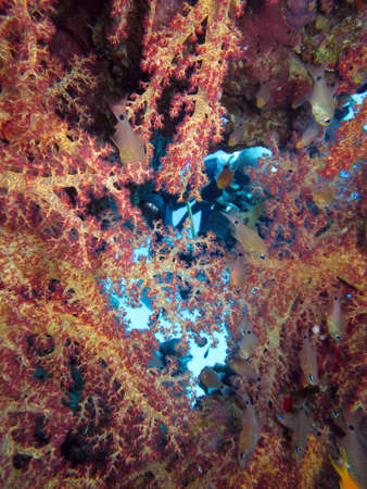 prickly superb coral, Hurghada Egypt, photo