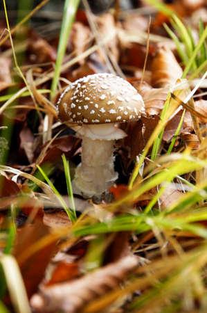 mecklenburg  western pomerania: Panther mushroom, Sassnitz, Rgen, Mecklenburg-Vorpommern, Germany