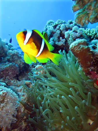 amphiprion bicinctus: Anemonefish in Magnificent Sea