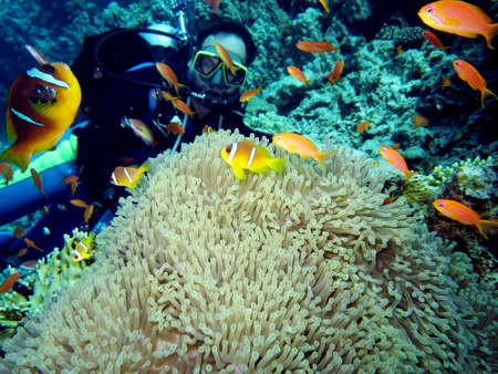 and the magnificent: Anemonefish in Magnificent Sea