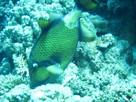 triggerfish: Giant Triggerfish, Safaga, Egypt