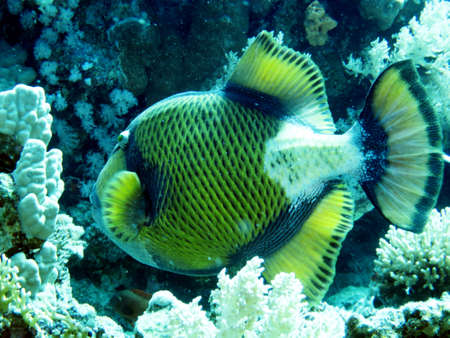 triggerfish: Giant Triggerfish, Safaga, Egypt