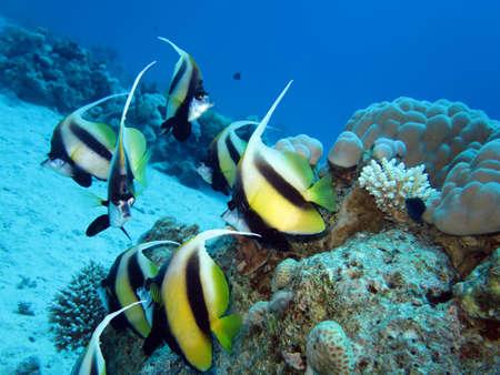 bannerfish: Red Sea bannerfish, Safaga, Egypt