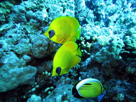 butterflyfish: Mask Butterflyfish, Safaga, Egypt