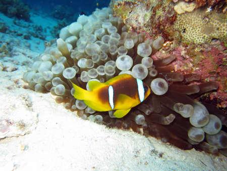 amphiprion bicinctus: Anemonefish Egypt to Blasenanemone, Safaga,