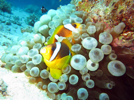 amphiprion bicinctus: Anemonefish Egypt to Blasenanemone, Safaga,