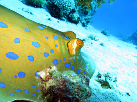 stingrays: Blue spotted stingrays in Safaga , Egypt  Stock Photo