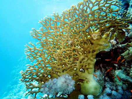 anthias: Lyretail Anthias on net fire coral, Hurghada Egypt, Stock Photo