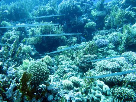 bluespotted: Bluespotted cornetfish , Egypt Safaga,
