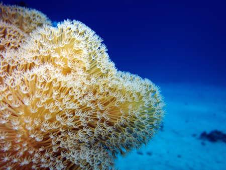 sarcophyton: Leather coral, Hurghada Egypt,