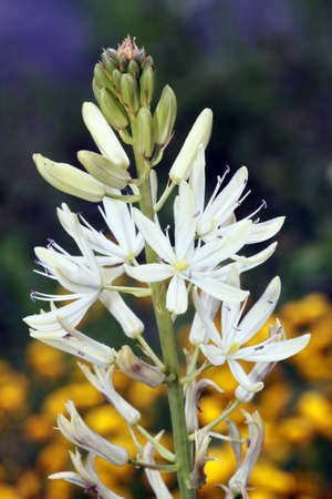 Leichtlin-Prrielilie - Camassia 植え
