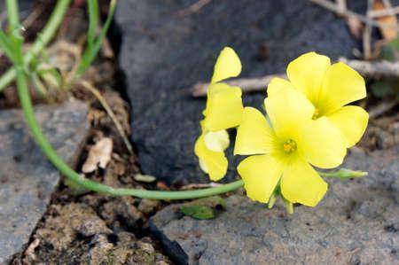 sour clover: Oxalis pes-caprae (Oxalis pes-caprae), Puerto de la Cruz, Tenerife, Spain