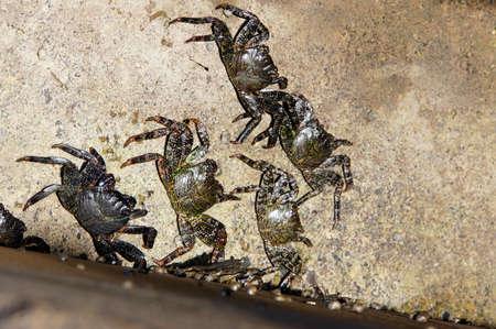 cancer foot: Rock crabs, Puerto de la Cruz, Tenerife, Spain