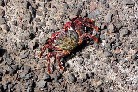 cancer foot: Red rock crab (Grapsus adscensionis), Puerto de la Cruz, Tenerife, Spain Stock Photo