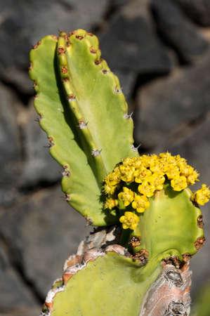 canariensis: Canary Island Spurge (Euphorbia canariensis), Guia de Isora, Tenerife, Spain, Alcal�