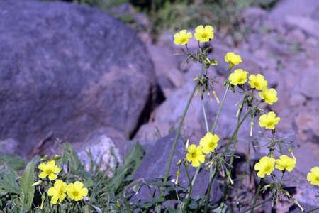oxalis: nodding sorrel (Oxalis pes-caprae), Tenerife, Spain