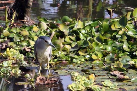 Night Heron (Nycticorax nycticorax), Puerto de la Cruz, Tenerife, Kararen, Spain Stock Photo