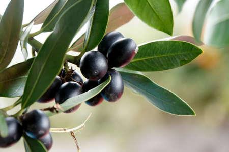 黒、熟したオリーブ、テネリフェ島、スペイン
