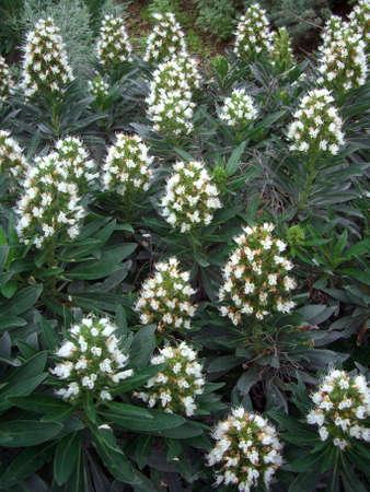 echium: white colored blooming bugloss (Echium spp.), Tenerife, Canary Islands, Spain