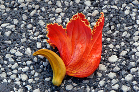 lamiales: Blossom of the African tulip tree lying on the floor