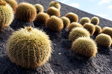 mother in law: Cacti on a roof in Plaza de Espana, Santa Cruz, Tenerife, Canary Islands, Spain Stock Photo