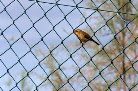 Schwirl in the chain-link fence, Los Realejos, Tenerife, Canary Islands, Germany
