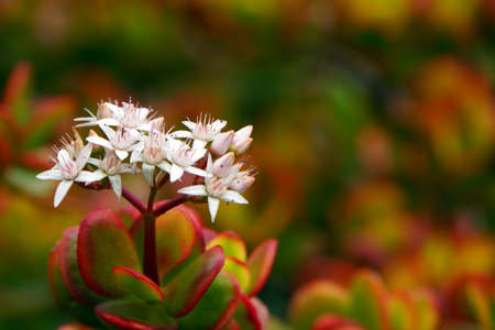 crassula ovata: Money tree -Crassula ovata, Puerto de la Cruz, Tenerife, Canary Islands, Spain Stock Photo