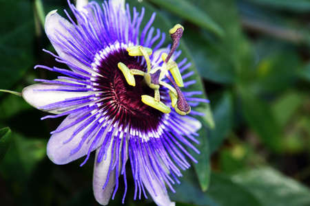 aureole: Passiflora caerulea (Passiflora caerulea) Stock Photo