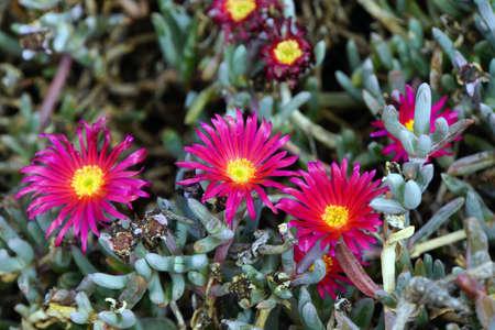ice plant: Ice Plant - Lampranthus spectabilis, Gimar, Tenerife, Canary Islands, Spain
