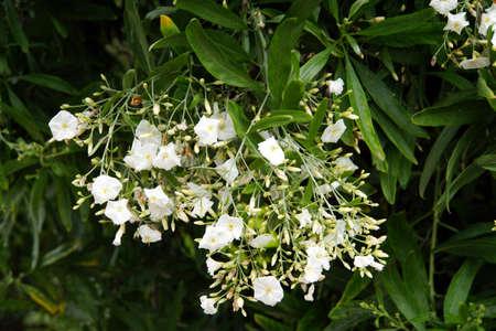 convolvulus: Canary Rosewoods (Convolvulus floridus), Gimar, Tenerife, Canary Islands, Spain Stock Photo