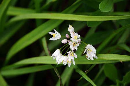 napoletana: Porro napoletano - Allium neapolitanum, Chamorga, Tenerife, Isole Canarie, Spagna Archivio Fotografico