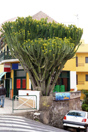 echoes: Canary Island Spurge (Euphorbia canariensis), Los Real echoes, Tenerife, Canary Islands, Spain