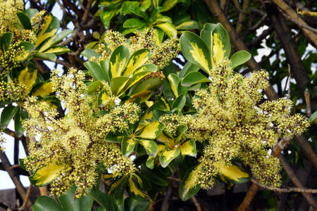 florescence: Fruit and florescence of the Schefflera arboricola, Santa Cruz de Tenerife, Tenerife, Canary Islands, Spain