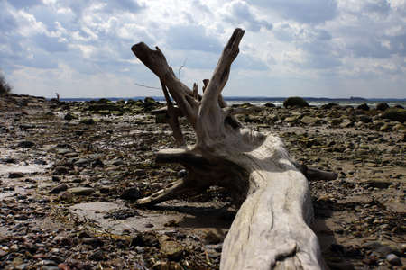 mecklenburg: Bleached tree trunk on the beach Timmendorf Beach Insel Poel Mecklenburg Vorpommern Germany Stock Photo