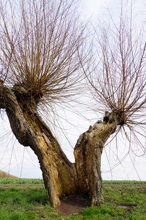 salix: Head Weidenallee (Salix spec.), Gollwitz, Insel Poel, Mecklenburg-Vorpommern, Germany
