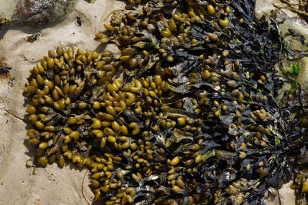 proliferation: At low tide dry rocky seaweed Timmendorf Beach Insel Poel Mecklenburg Vorpommern Germany