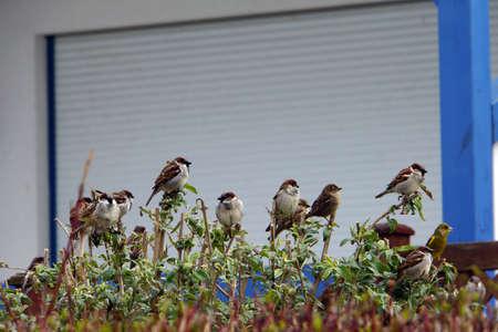 frontyard: Sparrows on Buddleia in the frontyard Timmendorf Beach Insel Poel Mecklenburg Vorpommern Germany