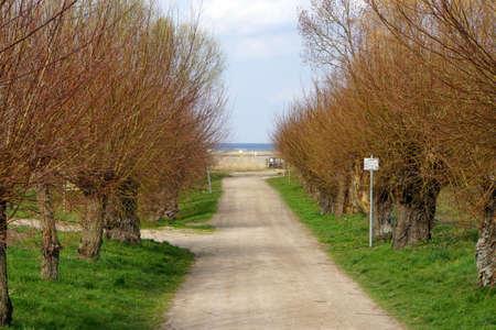 salix: Head Weidenallee Salix spec. Gollwitz Insel Poel Mecklenburg Vorpommern Germany
