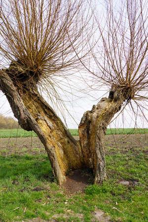 mecklenburg  western pomerania: Head Weidenallee Salix spec. Gollwitz Insel Poel Mecklenburg Vorpommern Germany