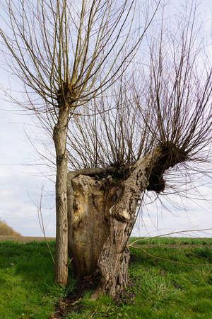 spec: Head Weidenallee Salix spec. Stock Photo