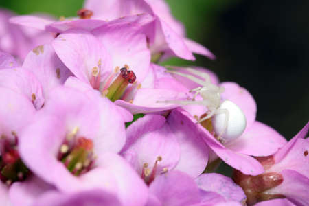 flower  crab  spider: white crab spider on the flowering of a  Bergenia (Bergenia cordifolia) Stock Photo