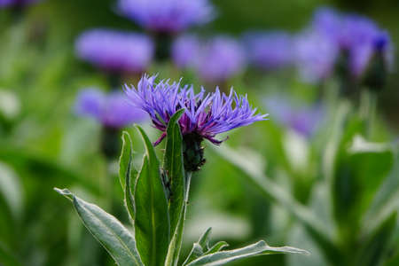 centaurea: purple knapweed (Centaurea)