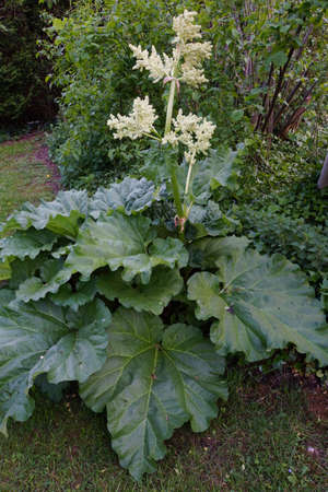 rheum: Rhubarb Rheum rhabarbarum with flowering Stock Photo