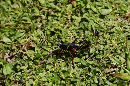 juvenile grasshopper Romalea microptera  Banco de Imagens