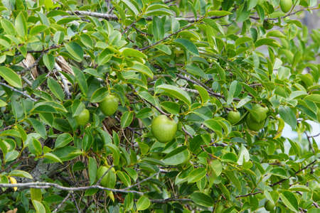 Everglades national park: Water apple Annona glabra Everglades National Park Florida USA